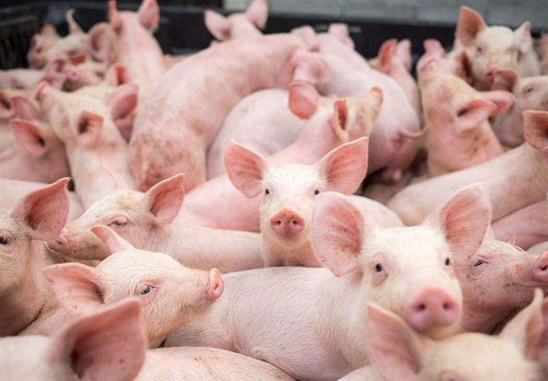 کشف نوع جدیدی از ویروس آنفلوآنزای خوکی با قابلیت همه گیری