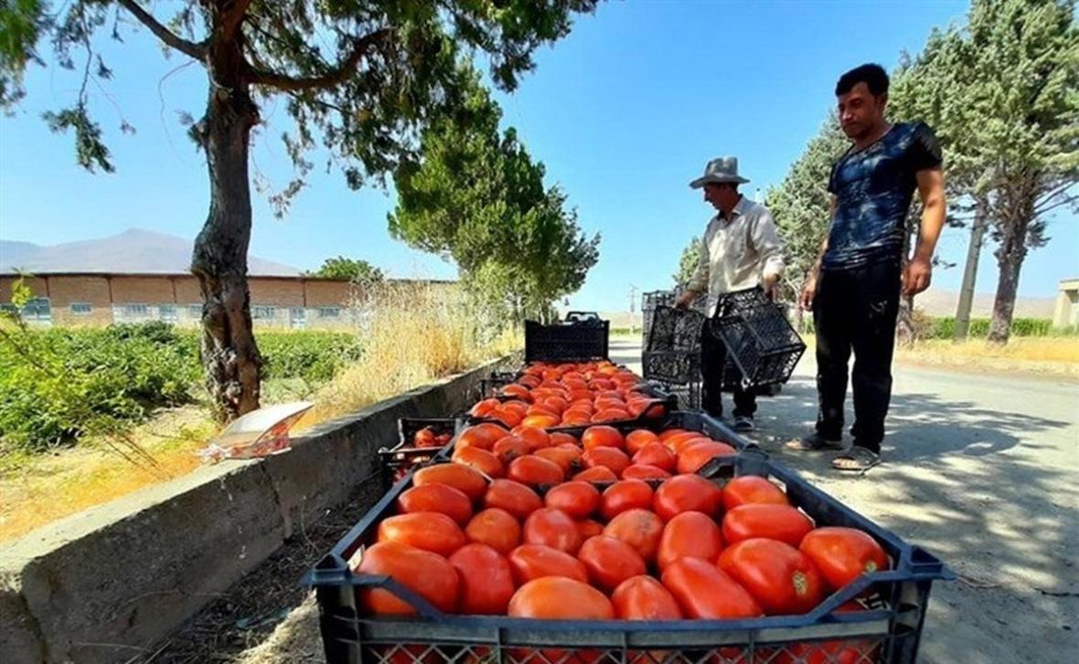 گوجه فرنگی تا 20 روز آینده ارزان می شود