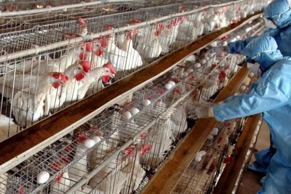 پنهانکاری درباره شیوع آنفلوانزای پرندگان