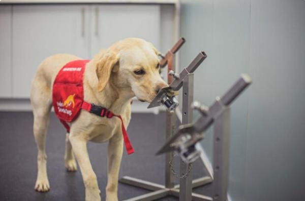 سگ ها مبتلایان کووید19 را با دقت 94درصد شناسایی می نمایند
