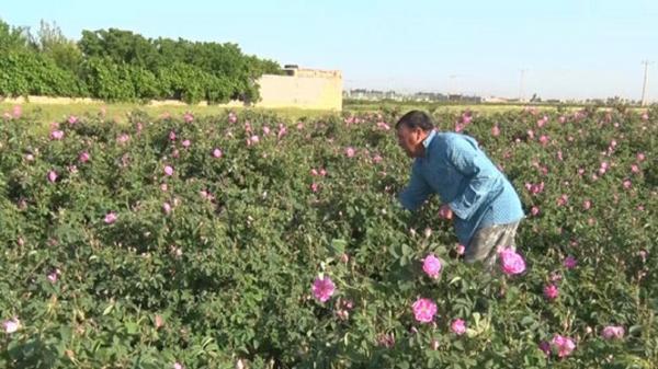 برداشت 720 تن گل محمدی از باغستان های آران و بیدگل